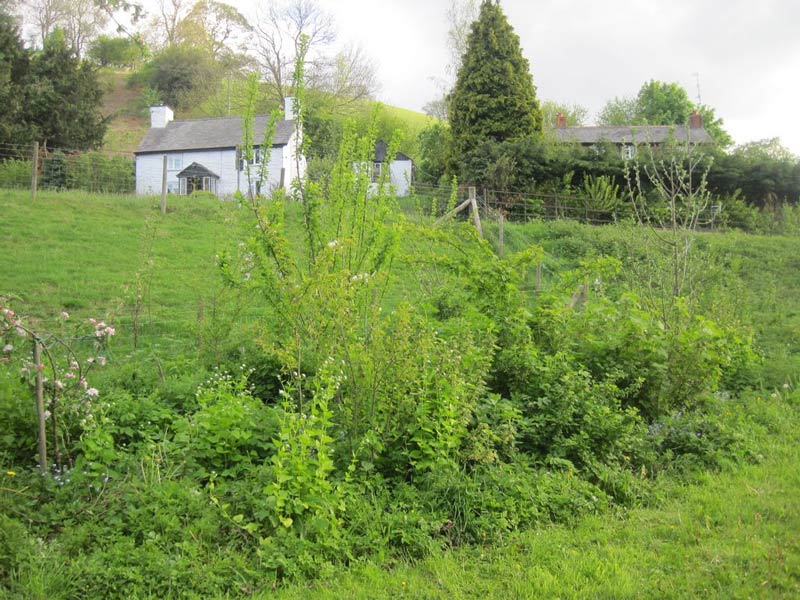 Forest garden, planted in 2009 at Llanfyllin Workhouse as part of a permaculture design course