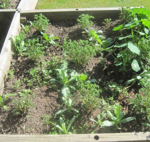 1.2m square bed with 1.2Kg of biochar and 1 wheel barrow of compost added